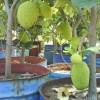 Nangka ; bibit tanaman buah ; tabulampot