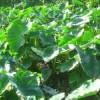 Budidaya tanaman talas satoimo atau talas jepang .