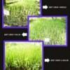 TUkang Rumput Vetiver ( Pengendali Erosi Tanah) , RUmput Gajah Mini & Golf Swis, Biji Benih RUmput B