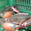 Benih ikan Semah, Red Mahseer, Tor tambroides