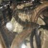 Membeli sidat Marmorata ukuran 200-500gr