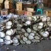 beli jenis kerang mutiara alami ukuran 600 gram up
