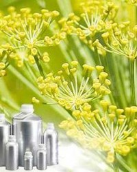 Minyak Adas ( Fennel Oil)